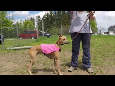 Northern Azawakh Association ASFA First Lure Coursing Trial in Canada