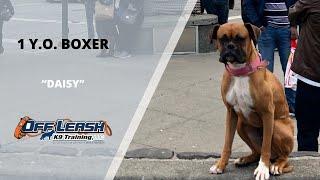 BOXER / DOG TRAINING
