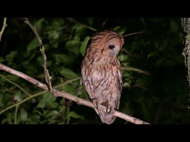 Tawny Owl (wild)
