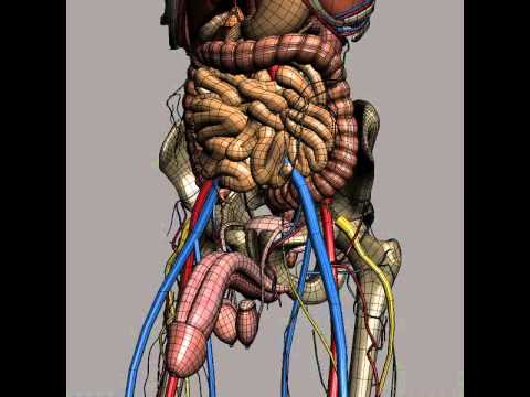 human male anatomy - body, skeleton and internal organs 3d model, Skeleton