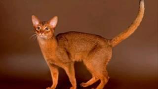[ Абиссинская кошка. ]