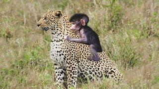Babuíno de mãe de caça de leopardo, mas ele cuida de seu bebê