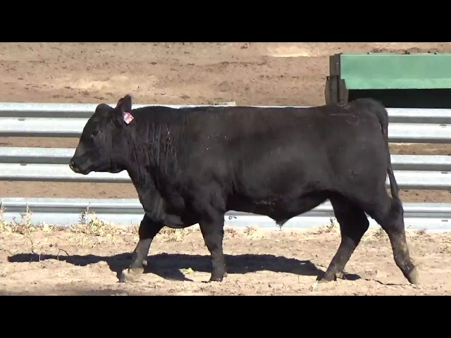 Connealy Angus Lot 68