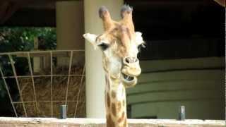 Жираф южноафриканский. The Giraffe. Moscow Zoo.