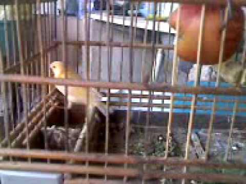 filhotes de canario belga com 23 dia de idade