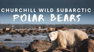 Walking with POLAR BEARS - 2 departures at Seal River Lodge with CHURCHILL WILD
