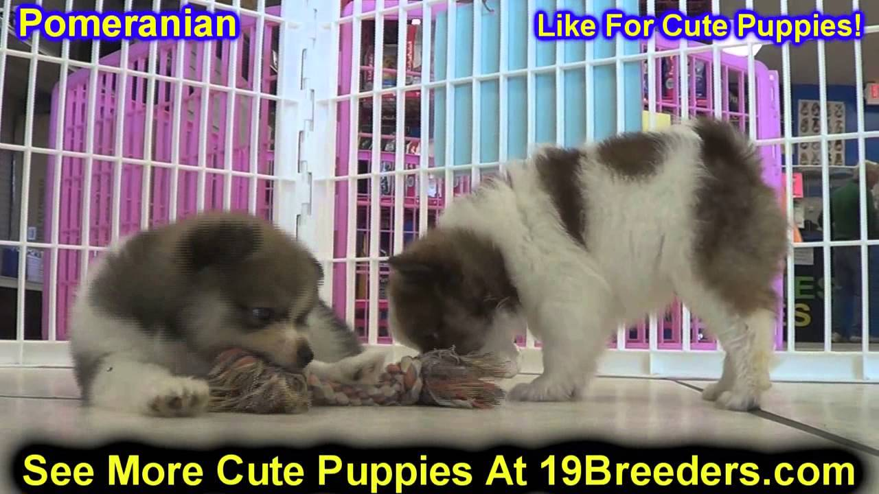 pomeranian puppies for sale in alabama pomeranian puppies dogs for sale in montgomery 3625