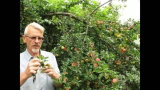 видео Как размножаются плодовые культуры