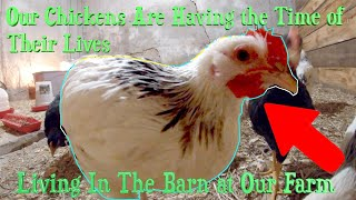 Our Chickens Are Having the Time of Their Lives Living in the Barn at Our Farm