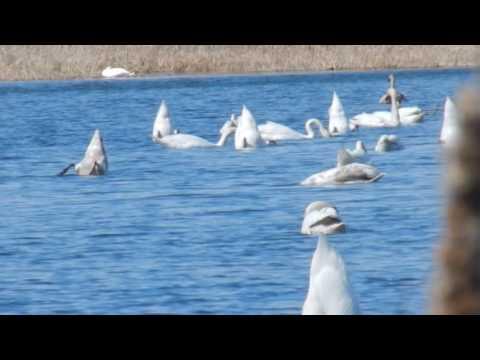 фото лебеди пруд
