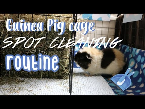 Guinea Pig Cage Spot Cleaning Routine