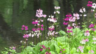 日光のクリンソウ Japanese Primrose in Nikko Japan 【4K UHD】日本の美しい風景 The Beautiful Scenery of Japan