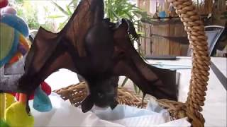 Baby Bat Learns To Toilet By Himself