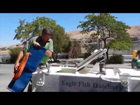 Spawning Endangered Sockeye Salmon