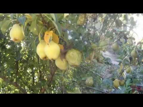 Сорта томатов для теплицы для Сибири, лучшие тепличные