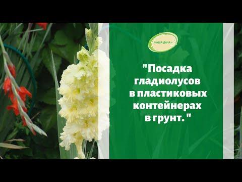 Посадка гладиолусов весной в пластиковых контейнерах в грунт. Марценюк Надежда.