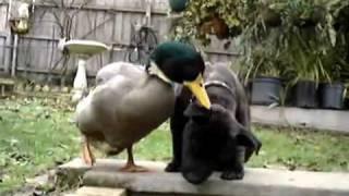Frau Ente ist verliebt in einen Hund