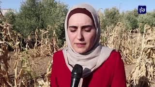 """ذرة """"القوس قزح""""، منتج جديد في الشرق الأوسط بدأ زراعته أردني في الكرك"""