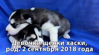 Предлагаем щенков хаски девочки, родились 2 сентября 2018 года