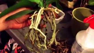 Repotting phalenopsis golden beauty