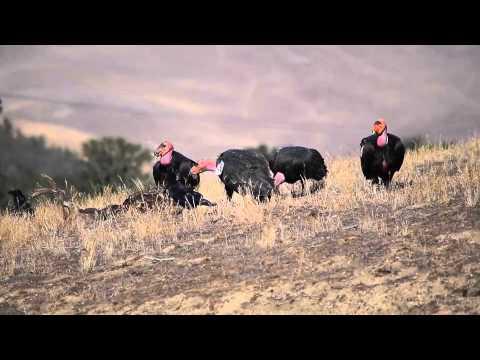 Wild Condors Feeding on Deer Carcass