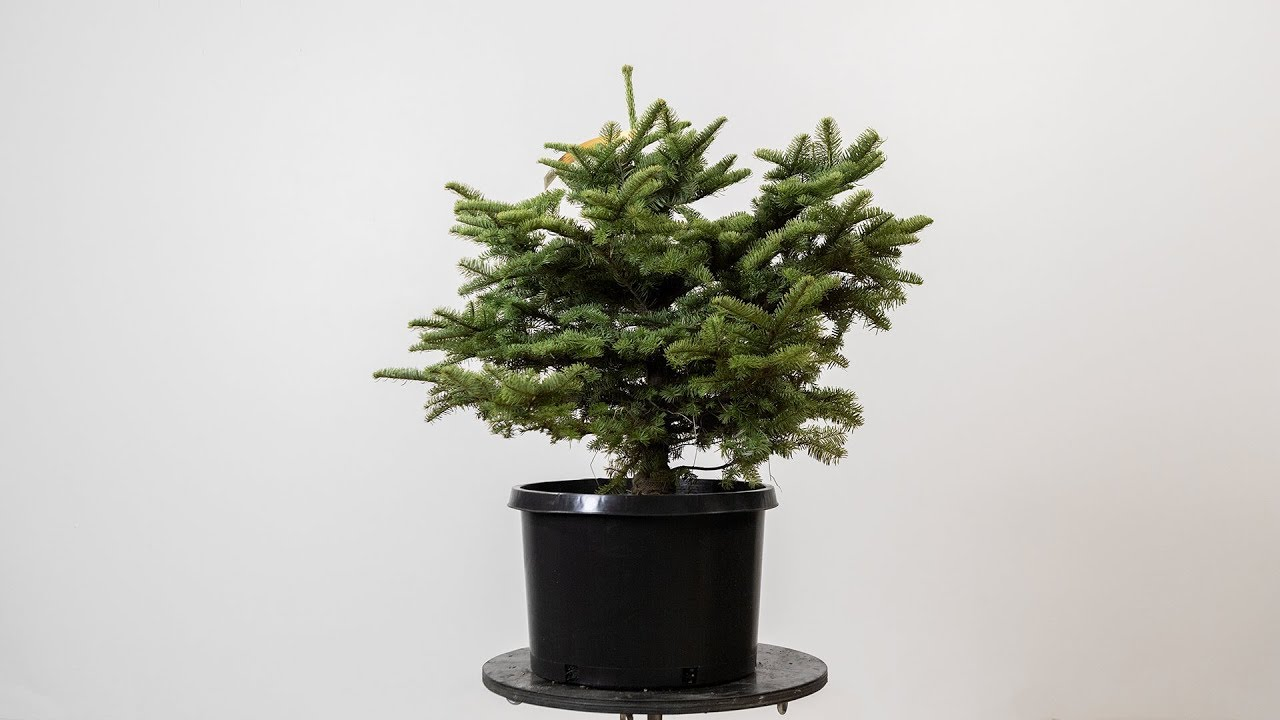 How To Make A Bonsai Youtube Tree Wiring Video