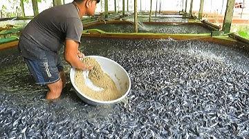 Medicated Feeds for Hybrid Magur Fish Farming Business   Catfish Farming