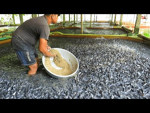 Medicated Feeds For Hybrid Magur Fish Farming Business | Catfish Farming