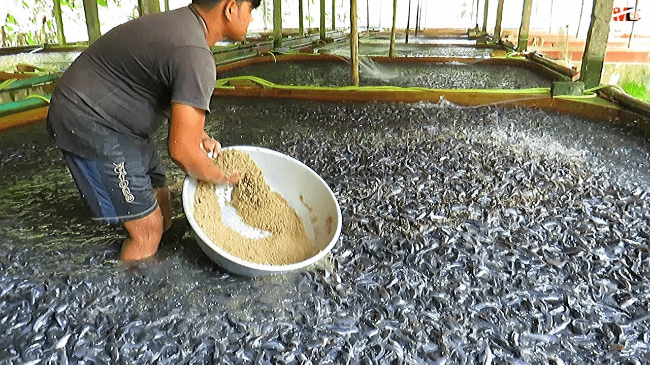 Download Medicated Feeds for Hybrid Magur Fish Farming Business   Catfish Farming