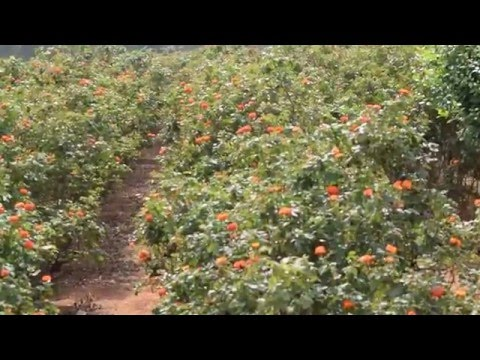 Beautiful Rose Farm in Bangalore