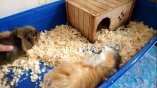 Морские свинки и кот Шуля