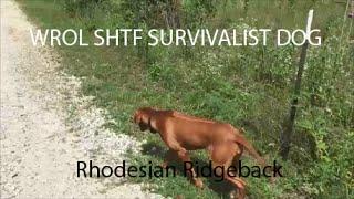 wrol shtf survivalist dog rhodesian ridgebacks simplelife rhodesianridgeback