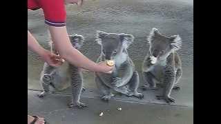 パース郊外にあるコアラパークにて コアラって実は雑食で何でも食べるそ...