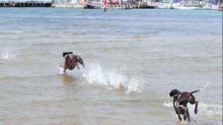 Swim With The Gsp's - Jan 2013