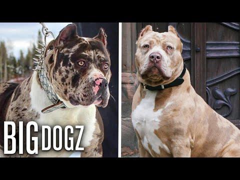 Meet Aftermath's Son - Marshall The 115lb Merle Bully   BIG DOGZ