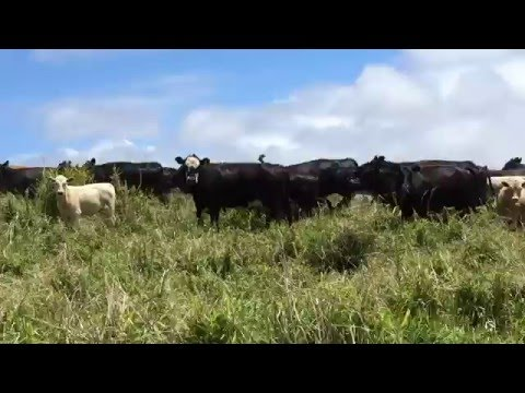 Cows in North Kohala, Hawaii