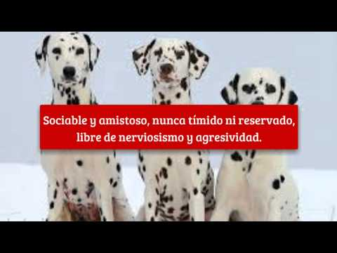 Raza de perros, Dalmata, Carriage Dog