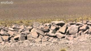 видео Мара-аргентинский заяц