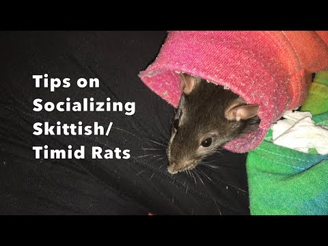 Tips on Socializing Shy/Timid Rats- ft. Cream!