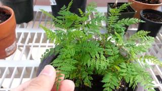 Jacaranda seedlings