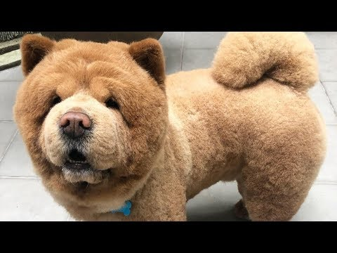 Cute Chow Chow - Chow Chow Puppy - Chow Chow - Chow Chow Dogs compilation #4