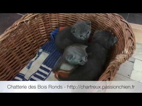 Chatons Chartreux LOOF De 1,5 à 2,5 Semaines