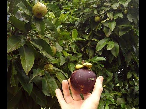 Mangosteen   The Queens Fruit