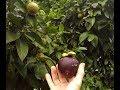 Mangosteen | The Queens Fruit