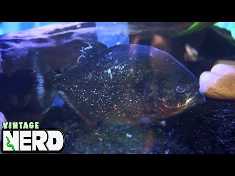 After They Spawn, Finding The Baby Piranhas - Breeding Red Belly Piranhas