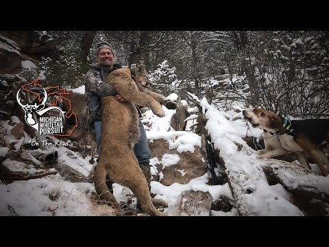 Michigan Hunter Takes Big Mountain Lion - MWP On The Road