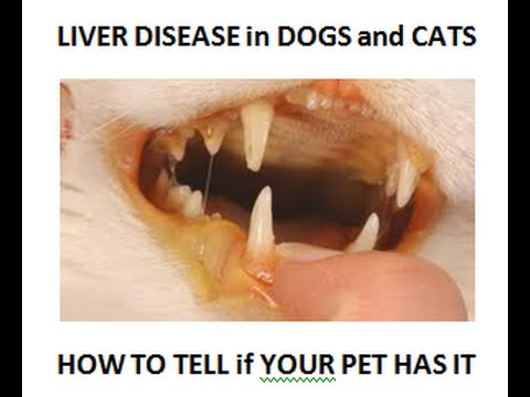 Liver Disease: How To Tell If Your Dog or Cat Has It