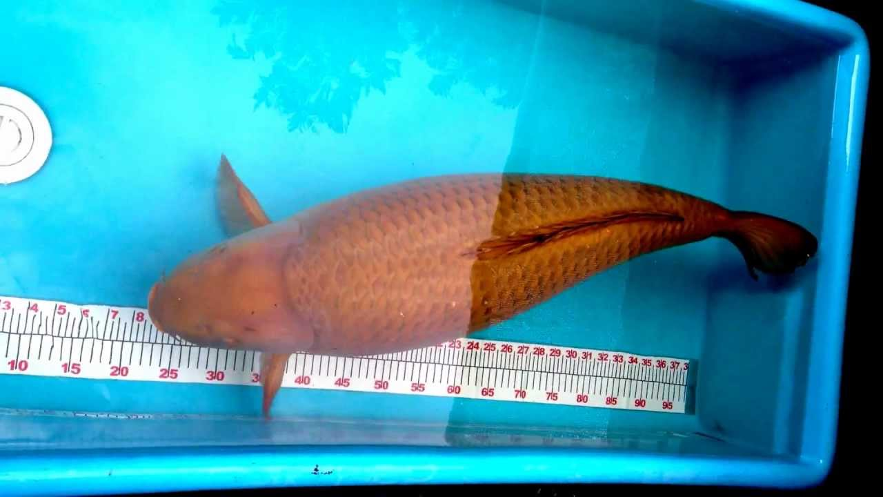 Koi for sale 33 5 jumbo chagoi youtube for Giant koi for sale