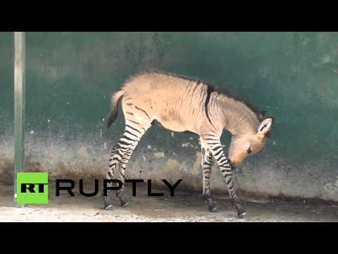 Как назвать детеныша зебры