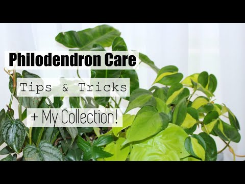 Philodendron Houseplant Care Tips & Tricks | My Philodendron Collection!